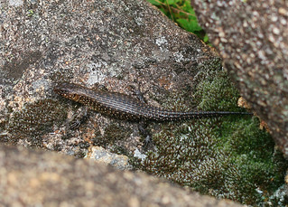 Cunningham's Skink | by NathanaelBC