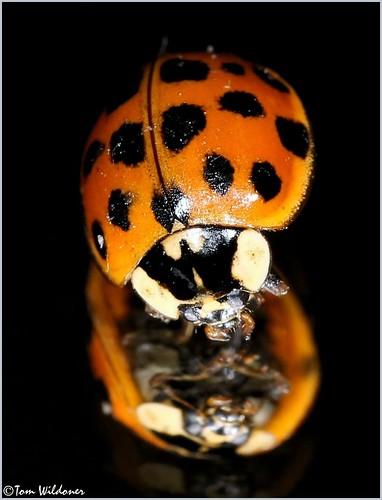 orange macro nature closeup canon bug insect colorful beetle 100mm ladybug environment nuisance canon6d tomwildoner leisurelyscientist leisurelyscientistcom