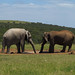 Addo Elefantpark SAN, Sør-Afrika 2015