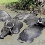 14 Viajefilos en Sri Lanka. Yala 36