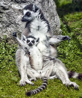 Yeaah power to us Lemurs | by Steve Wilson - over 10 million views Thanks !!