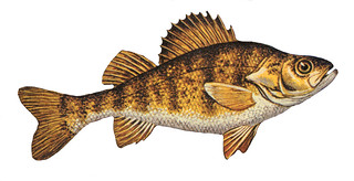 Yellow Perch | by NOAA Great Lakes Environmental Research Laboratory