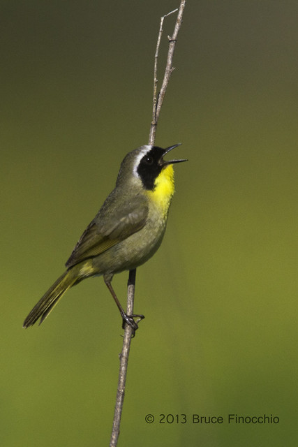 Male Common Yellowthroat Sings From Perch