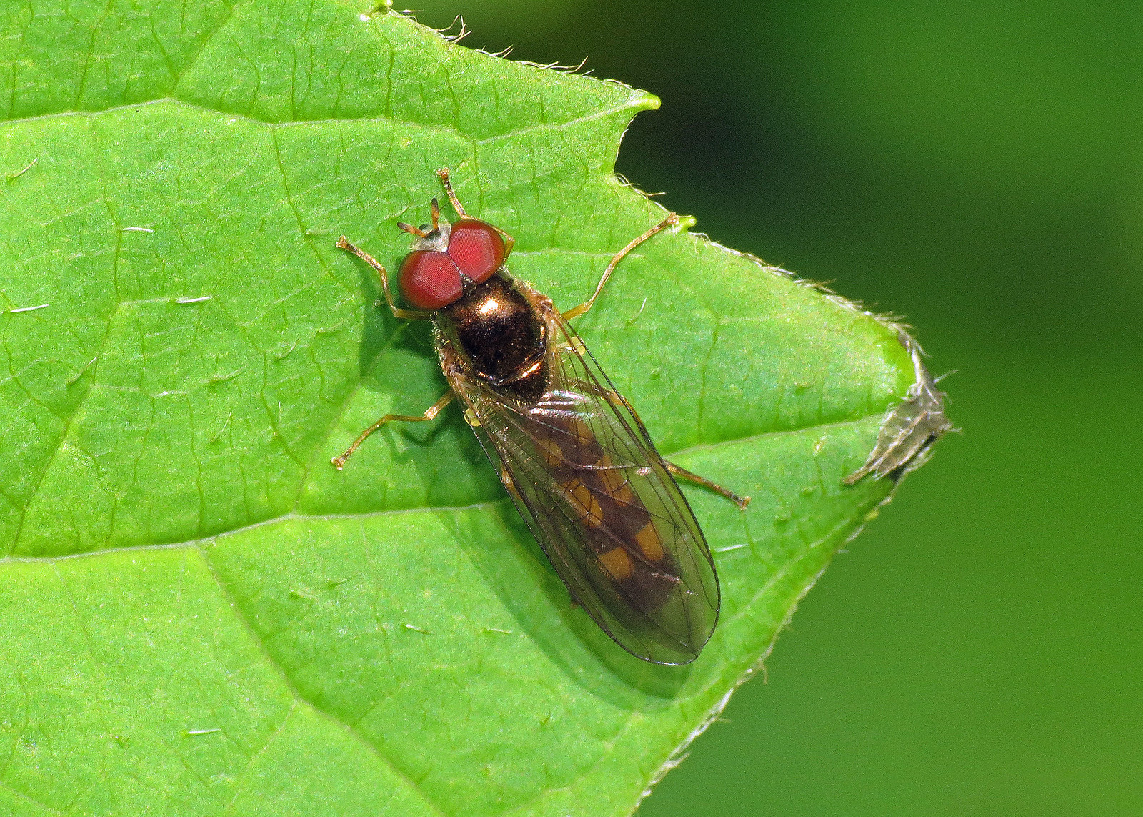 Hoverfly - Melanostoma scalare