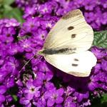 ~ Heliotrope and Cabbage White ~