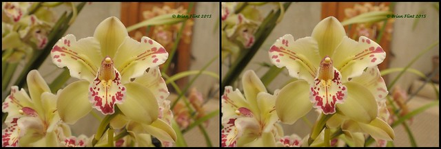 cymbidium orchid - 3d cross-view