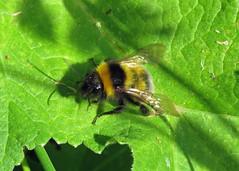 Garden Bumblebee - Bombus hortorum
