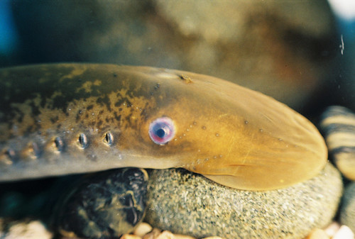 Sea Lamprey | by NOAA Great Lakes Environmental Research Laboratory