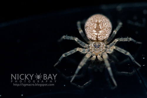 Wall Spider (Oecobiidae) - DSC_3935 | by nickybay