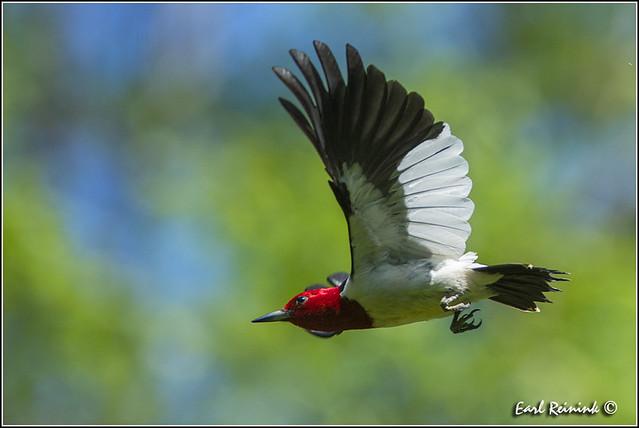 Red-headed Woodpecker (130609-0077)