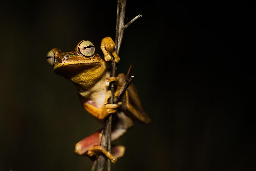 Bischoff's tree frog