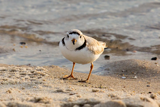 Piping Plover | by Laura Erickson