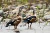 Orinoco Goose (Neochen jubata) by Sergey Pisarevskiy