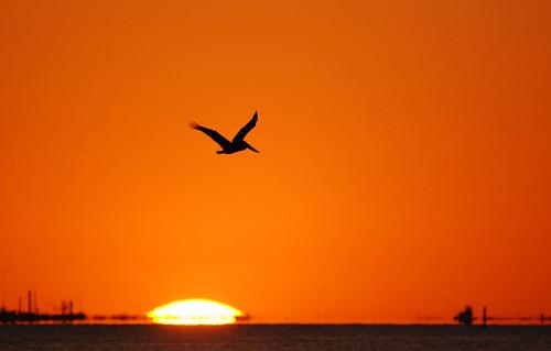 sunset galveston texas pelican brownpelican galvestonislandstatepark