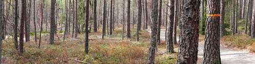 forest storemosse