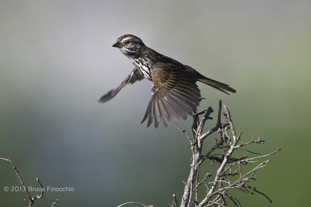 Song Sparrow In Flight From Perch