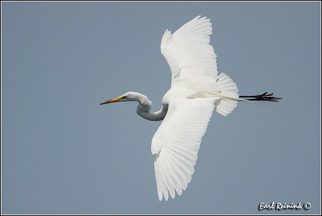 Great Egret (130703-0936)