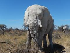 Etosha NP - olifant heel dichtbij 2