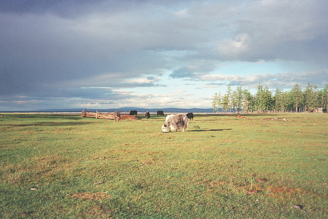 North Mongolia, herd of yaks, lake Khövsgöl area
