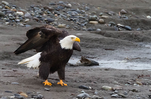 Bald Eagle | by Peter Bangayan