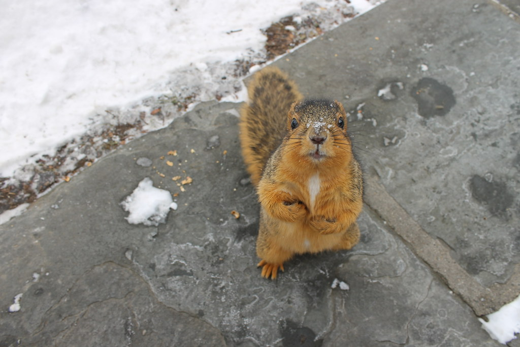 240/365/2431 (February 6, 2015) - Squirrels on a Winter's Day at the University of Michigan (February 6, 2015) - Explored!