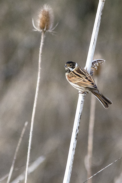 Reed Bunting 03