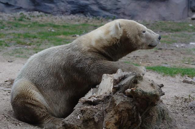 The little polar bear (VII)