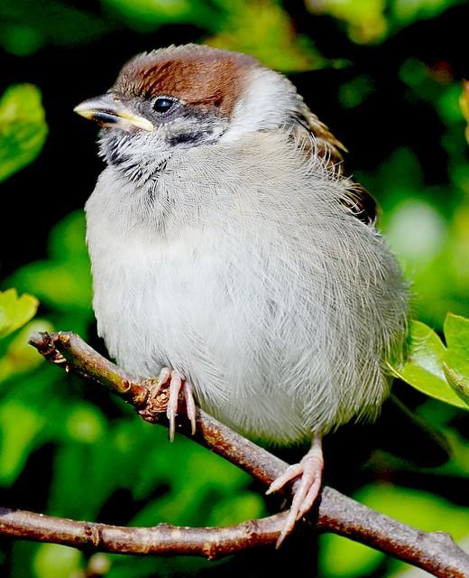 Baby Tree Sparrow