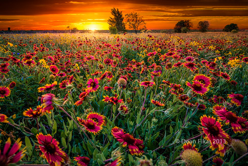 blue red sky orange sun sunlight plant flower green nature floral beautiful field yellow closeup rural sunrise landscape dawn golden colorful texas unitedstates bright wind blossom indian country sunny nobody sunflower rays sunrays benbrook indianblankets
