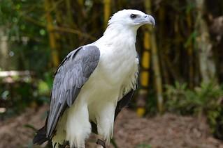Photo point- white bellied sea eagle | by shankar s.