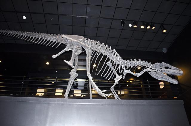 Allosaurus fragilis - Big Al - Big Horn County Wyoming - Museum of the Rockies - 2013-07-08