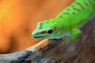 Greenday Gecko   by Rene Mensen