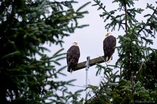 Bald eagles are everywhere on Haida Gwaii