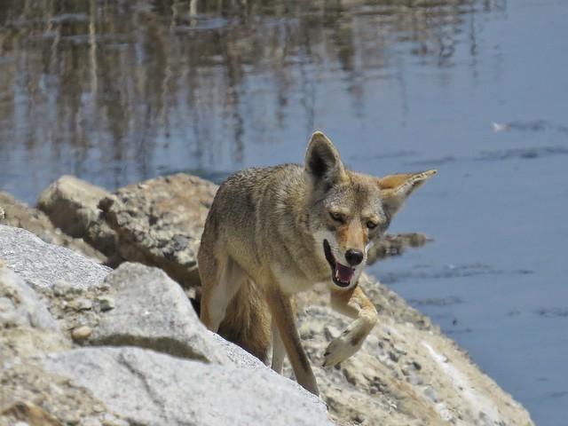 coyote-bolsa chica (2)