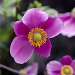 Japanese anemone 1 (Anemone hupehensis)