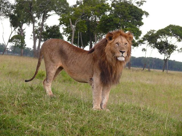 Male Lion in the Mara !