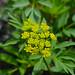 Zizia aurea - Photo (c) Joshua Mayer, algunos derechos reservados (CC BY-SA)