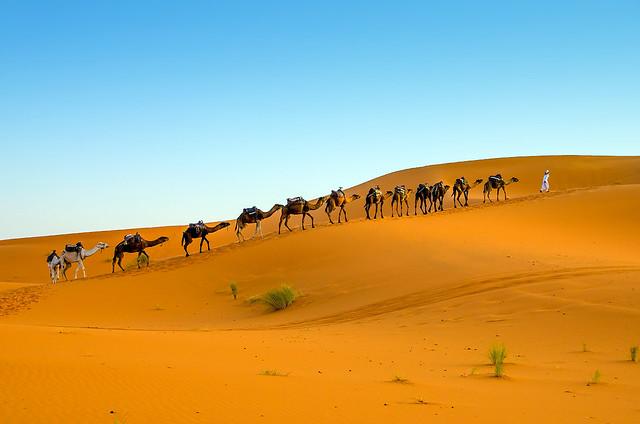 Camels - Sahara Desert - Morocco