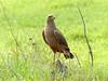 Águila Sabanera, Savanna Hawk (Buteogallus meridionalis) (Heterospizias meridionalis) by Francisco Piedrahita