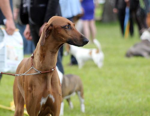 Azawakh at dog show | by corinne_benavides