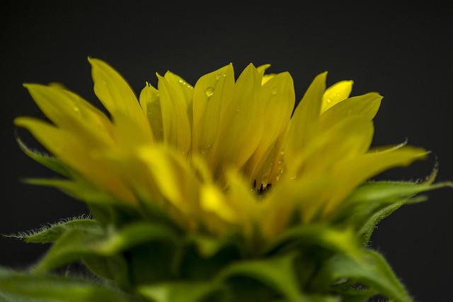blooming sunflower (macro)