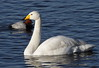 _MG_0112 Whooper Swan by sam.creighton