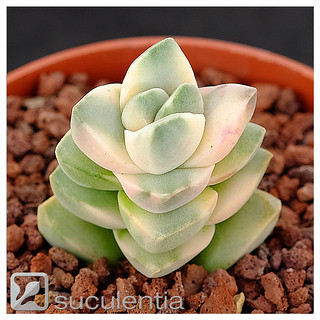 "Crassula ""Moonglow"" variegated 