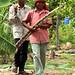 Gathering sugarcane