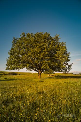 tbnate yorkshire westyorkshire wakefield wakefielduk nikon nikond750 d750 tree field sky landscape nature outdoor outside goldenhour