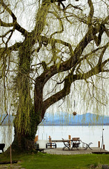 Trauerweide | Weeping Willow