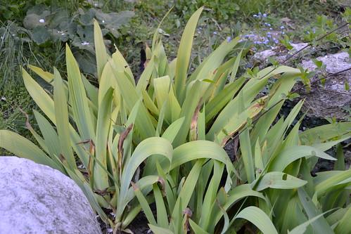 Iris : feuilles et boutons qui sèchent 8716007910_be6c1bda6c