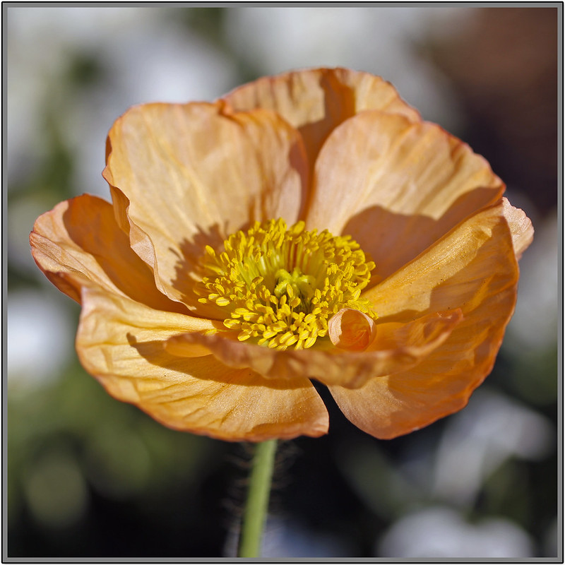 orange poppy