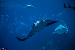 Manta Ray and Whale Shark | by AO'D