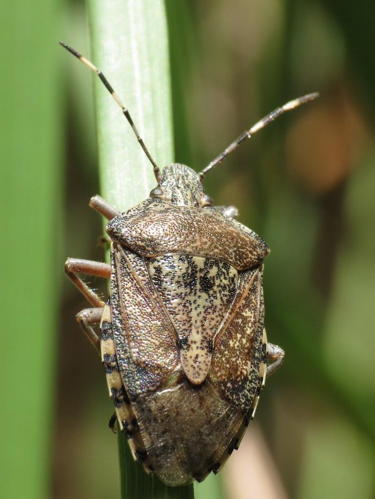 Heteroptera - Photo (c) Donald Hobern, algunos derechos reservados (CC BY)